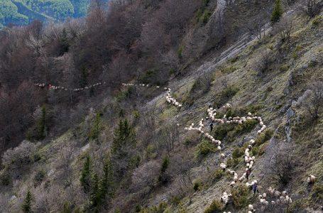 Božijakovih 500 ovaca stiglo na Vlašić