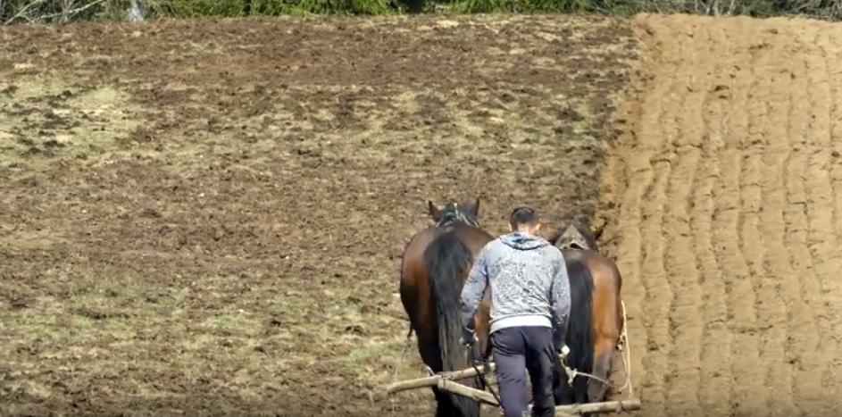 Konjima oru njive i sade krumpir