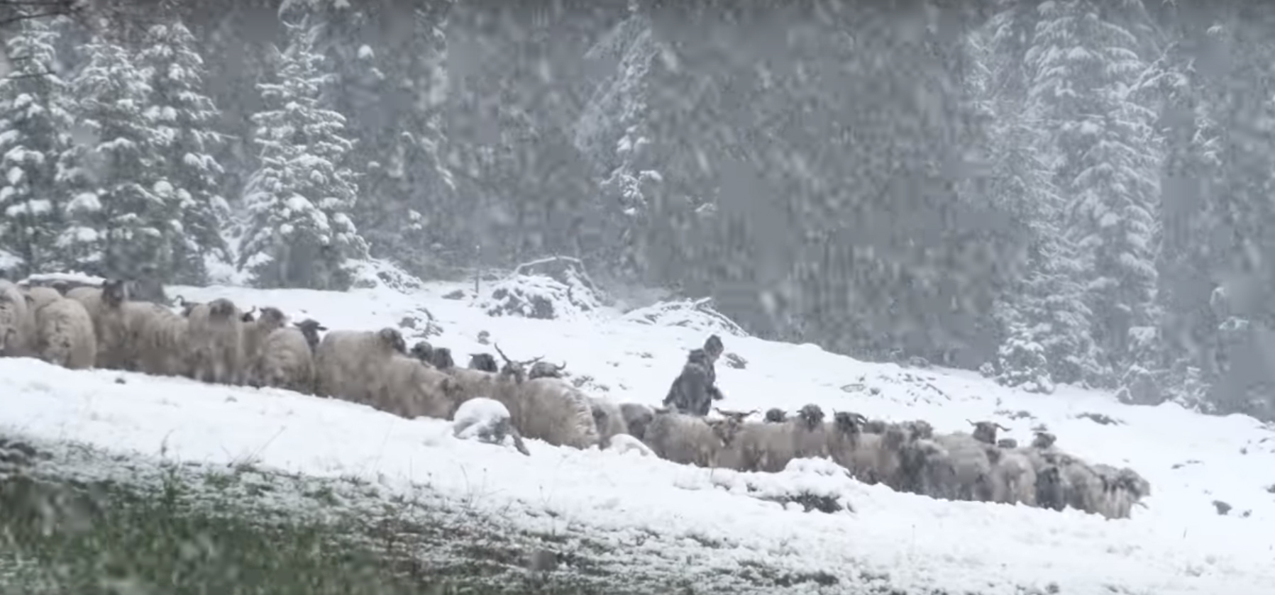 Vlašičkim ovčarima vratila se zima