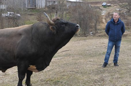 Peran Ivice Ladana iz Jajca najteži bik u dvije države