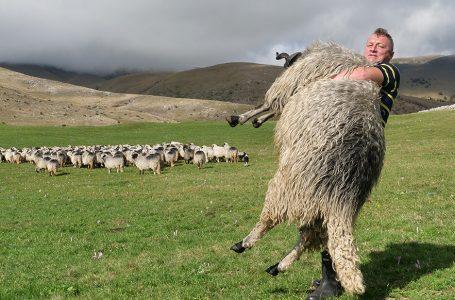 Najrazvijeniji ovčar u BiH, podigao ovna teškog 150 kilograma